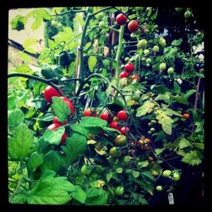 tomater i växthuset