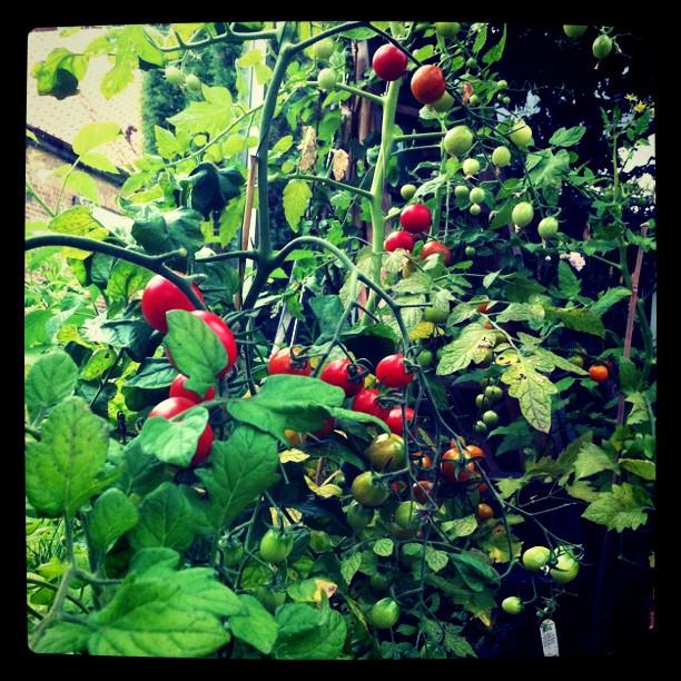 Tomatskörd